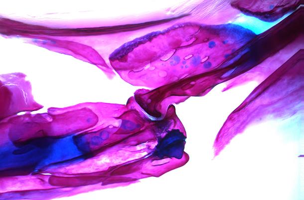 Adult zebrafish jaw joint.